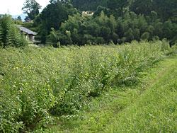 これが菊芋畑です