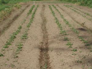 無農薬・有機栽培の菊芋の苗