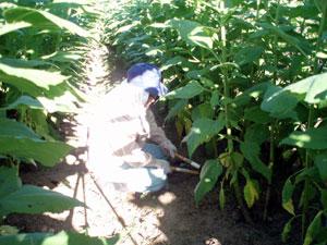 無農薬・有機栽培の菊芋の剪定