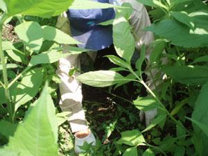 無農薬・有機栽培の菊芋の雑草取り