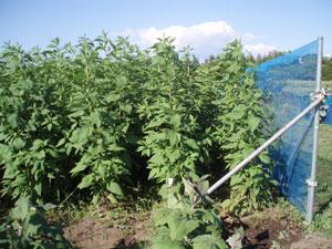 無農薬・有機栽培の菊芋畑の様子