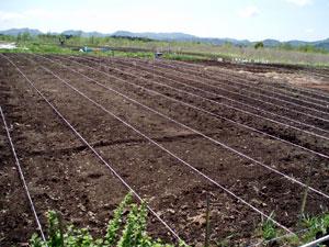 無農薬・有機栽培の菊芋の畝つくり