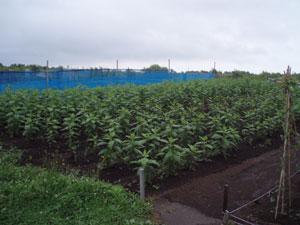 無農薬・有機栽培の菊芋畑