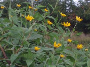 無農薬・有機栽培の菊芋の花