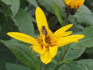 無農薬・有機栽培の菊芋の花には蜂も