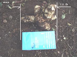 無農薬・有機栽培の菊芋は約10cm