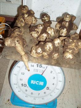 無農薬・有機栽培の菊芋は1kgで6個
